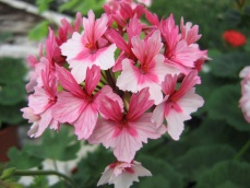 gallery/fairy phlox